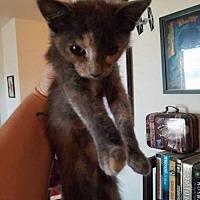 Adopt A Pet :: Indie - San Tan Valley, AZ