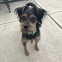 Adopt A Pet :: Ruxen - Indianapolis, IN