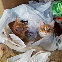 Adopt A Pet :: Kitten Pair - Firestar & Stanley - Napa, CA