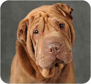 Shar Pei Dog for adoption in Chicago, Illinois - Lenny