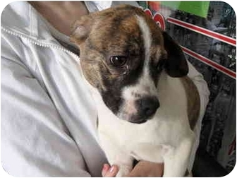 Boston Terrier/Beagle Mix Puppy for adoption in Lonedell, Missouri - Moe