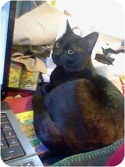 Domestic Shorthair Cat for adoption in Loveland, Colorado - Blackie