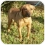 Photo 3 - German Shepherd Dog/Labrador Retriever Mix Dog for adoption in Kingwood, Texas - Clifford