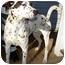 Photo 1 - Dalmatian Mix Dog for adoption in Dahlonega, Georgia - Dino