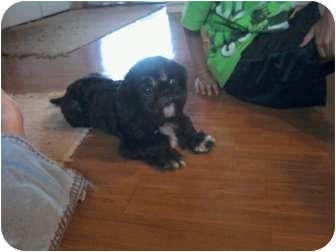 Shih Tzu Dog for adoption in Warsaw, Indiana - Thackery