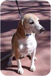 Beagle Mix Dog for adoption in Phoenix, Arizona - Scouty