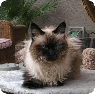 Himalayan Cat for adoption in Phoenix, Arizona - COCO
