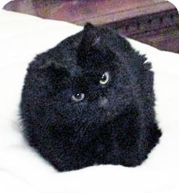 Domestic Shorthair Cat for adoption in Howell, Michigan - Casey