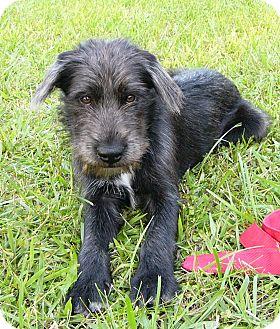 Schnauzer (Standard)/Scottish Deerhound Mix Dog for adoption in Mocksville, North Carolina - Mulligan