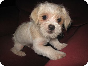 Shih Tzu/Chihuahua Mix Puppy for adoption in Wauseon, Ohio - Dexter