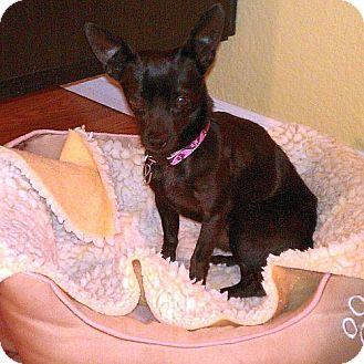 Chihuahua Mix Dog for adoption in Berkeley, California - Taco **URGENT**