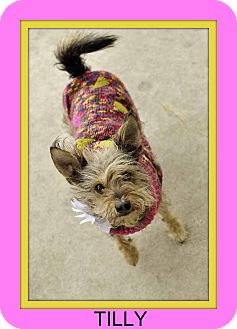 Yorkie, Yorkshire Terrier Mix Dog for adoption in Corpus Christi, Texas - Tilly