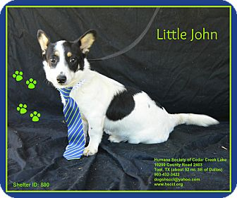 Jack Russell Terrier/Corgi Mix Puppy for adoption in Plano, Texas - Little John