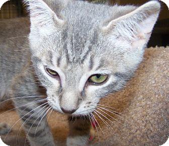 Domestic Shorthair Kitten for adoption in Grants Pass, Oregon - Darrin