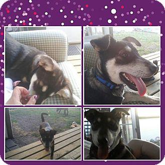 Shepherd (Unknown Type)/Husky Mix Puppy for adoption in Chilliwack, British Columbia - KANDY