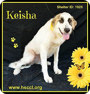 Anatolian Shepherd Mix Dog for adoption in Plano, Texas - Keisha