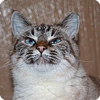 Siamese Cat for adoption in Laingsburg, Michigan - Crystal