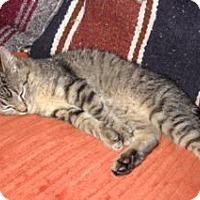 Adopt A Pet :: Kit Kat - Colorado Springs, CO
