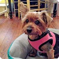 Adopt A Pet :: Ginger Spice - Leesburg, FL