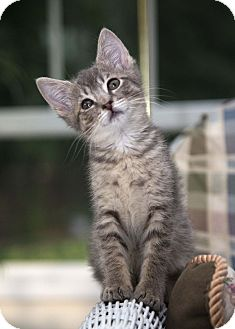 Domestic Shorthair Kitten for adoption in Berlin, Connecticut - Gigi