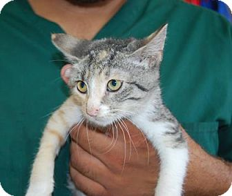 Domestic Shorthair Kitten for adoption in Brooklyn, New York - Sabre