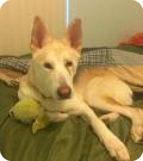 Shepherd (Unknown Type)/Husky Mix Dog for adoption in New Smyrna Beach, Florida - Max