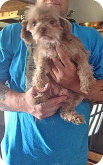 Shih Tzu/Maltese Mix Dog for adoption in Baton Rouge, Louisiana - Susie