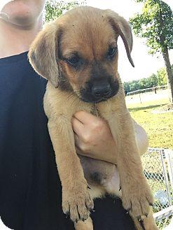 German Shepherd Dog/Labrador Retriever Mix Puppy for adoption in Statesville, North Carolina - Chief