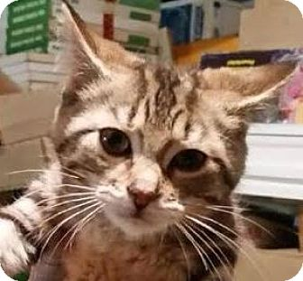 Domestic Shorthair Kitten for adoption in Toronto, Ontario - Lovey