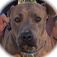 American Pit Bull Terrier Dog for adoption in Blanchard, Oklahoma - Grace