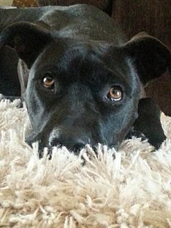 American Staffordshire Terrier/Labrador Retriever Mix Dog for adoption in San Diego, California - Brandy