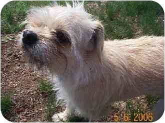 Brussels Griffon Mix Dog for adoption in Naugatuck, Connecticut - Boston