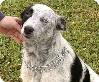 Anatolian Shepherd/Cattle Dog Mix Dog for adoption in Manhattan, Kansas - Dobbie