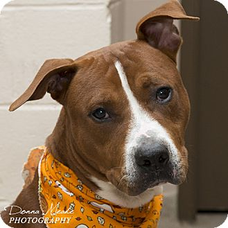 Pit Bull Terrier Mix Dog for adoption in Troy, Ohio - Rollo