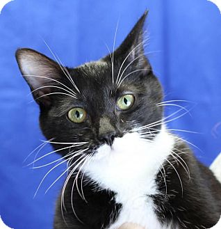 Domestic Shorthair Cat for adoption in Winston-Salem, North Carolina - Samantha