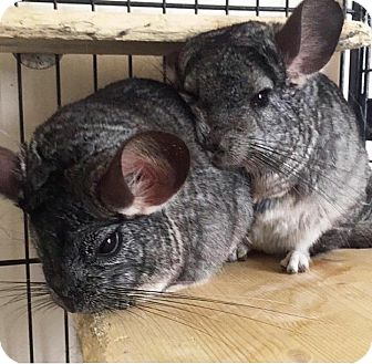 Chinchilla for adoption in Granby, Connecticut - Chi & Zen