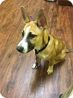 German Shepherd Dog/Boxer Mix Puppy for adoption in Hagerstown, Maryland - Gibbs