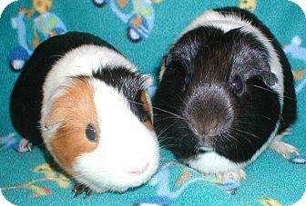 Guinea Pig for adoption in Highland, Indiana - Sam