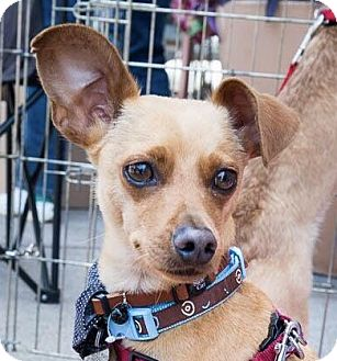 Terrier (Unknown Type, Small)/Hound (Unknown Type) Mix Dog for adoption in San Marcos, California - Mason