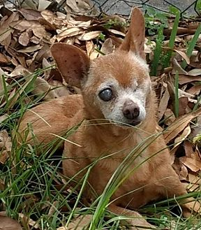 Chihuahua Dog for adoption in Sanford, Florida - Zeus the one eyed Senior Chi *F*