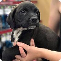 Adopt A Pet :: Gustav - Fresno, CA