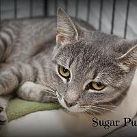 Adopt A Pet :: Sugar Puss - Glen Mills, PA