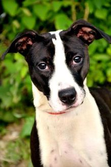Terrier (Unknown Type, Small) Mix Dog for adoption in Fort Smith, Arkansas - Sarah