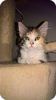 Calico Kitten for adoption in Rocklin, California - Speedbump