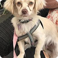 Adopt A Pet :: Roxy - Costa Mesa, CA