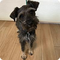 Adopt A Pet :: Stormy - Redondo Beach, CA