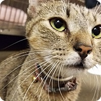 Domestic Shorthair Cat for adoption in New York, New York - Queenie
