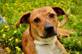 Terrier (Unknown Type, Small)/Labrador Retriever Mix Dog for adoption in Fort Smith, Arkansas - Taylor