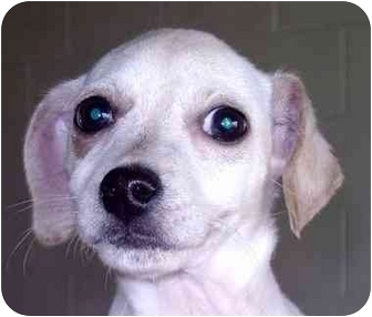 Jack Russell Terrier/Lakeland Terrier Mix Puppy for adoption in Albany, Georgia - Pixie
