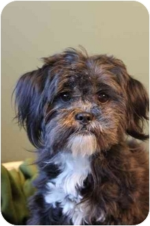 Lhasa Apso/Pomeranian Mix Dog for adoption in Portland, Oregon - Bonita